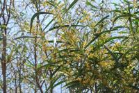 Image of Acacia retinodes
