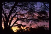 Acacia tortilis image