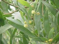 Image of Acacia verticillata