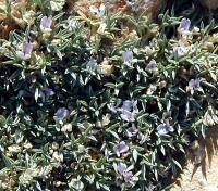 Image of Astragalus aculeatus
