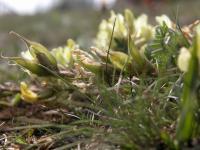 Image of Astragalus campestris