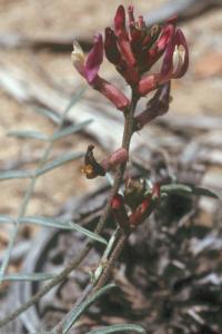Image of Astragalus casei