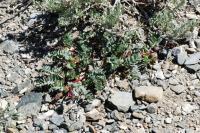Image of Astragalus cimae