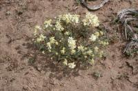 Image of Astragalus curvicarpus