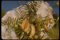 Image of Astragalus douglasii