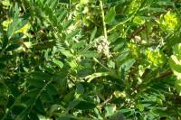 Image of Astragalus hamosus