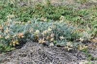 Image of Astragalus miguelensis
