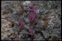 Image of Astragalus phoenix