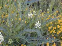 Image of Astragalus pomonensis
