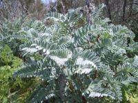Image of Astragalus pycnostachyus