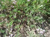 Image of Astragalus vexilliflexus