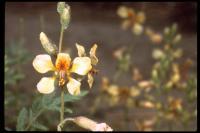 Image of Caesalpinia glauca