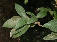 Image of Quercus rysophylla
