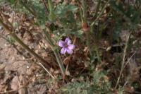 Image of Erodium botrys
