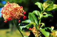 Image of Hydrangea peruviana