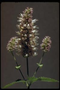 Image of Agastache urticifolia