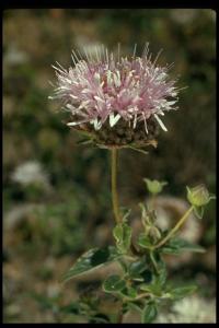 Image of Monardella hypoleuca