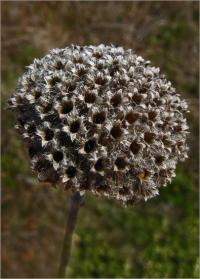 Image of Monardella villosa