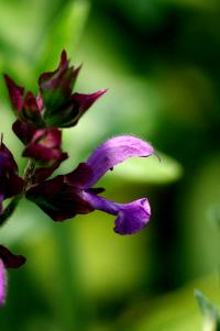 Image of Salvia canariensis
