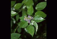 Image of Salvia polystachya