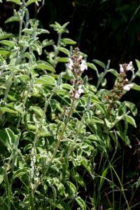 Image of Salvia triloba