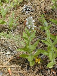 Image of Stachys albens