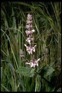 Image of Stachys bullata