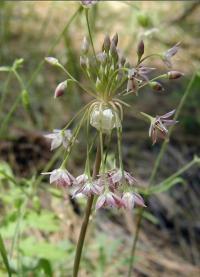 Image of Allium campanulatum