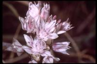 Image of Allium haematochiton