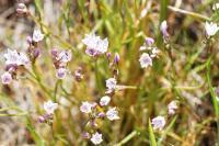 Image of Allium praecox
