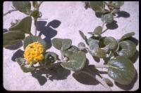 Image of Abronia latifolia