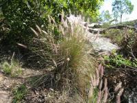 Pennisetum alopecuroides image