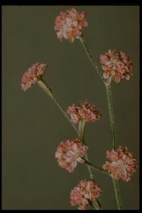 Image of Eriogonum dasyanthemum