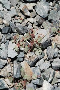 Image of Eriogonum eremicola