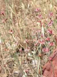 Image of Eriogonum gracile
