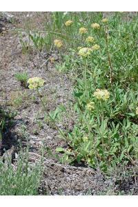 Image of Eriogonum heracleoides