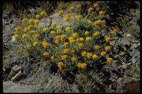 Image of Eriogonum rosense