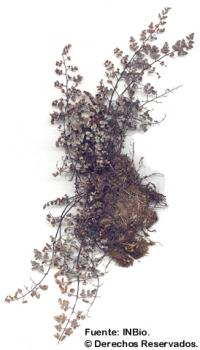 Image of Cheilanthes incana