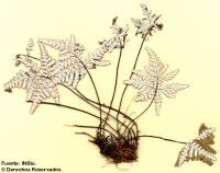 Image of Notholaena sulphurea