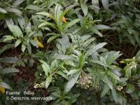Image of Solanum aligerum