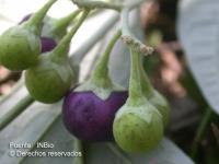 Image of Solanum geminiflorum