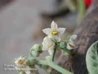 Image of Solanum hazenii