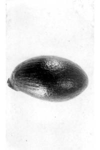 Image of Fremontodendron mexicanum