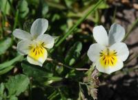 Image of Viola arvensis