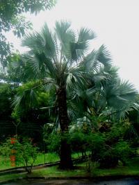 Bismarckia nobilis image