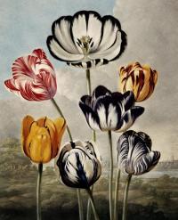 Tulipa gesneriana image