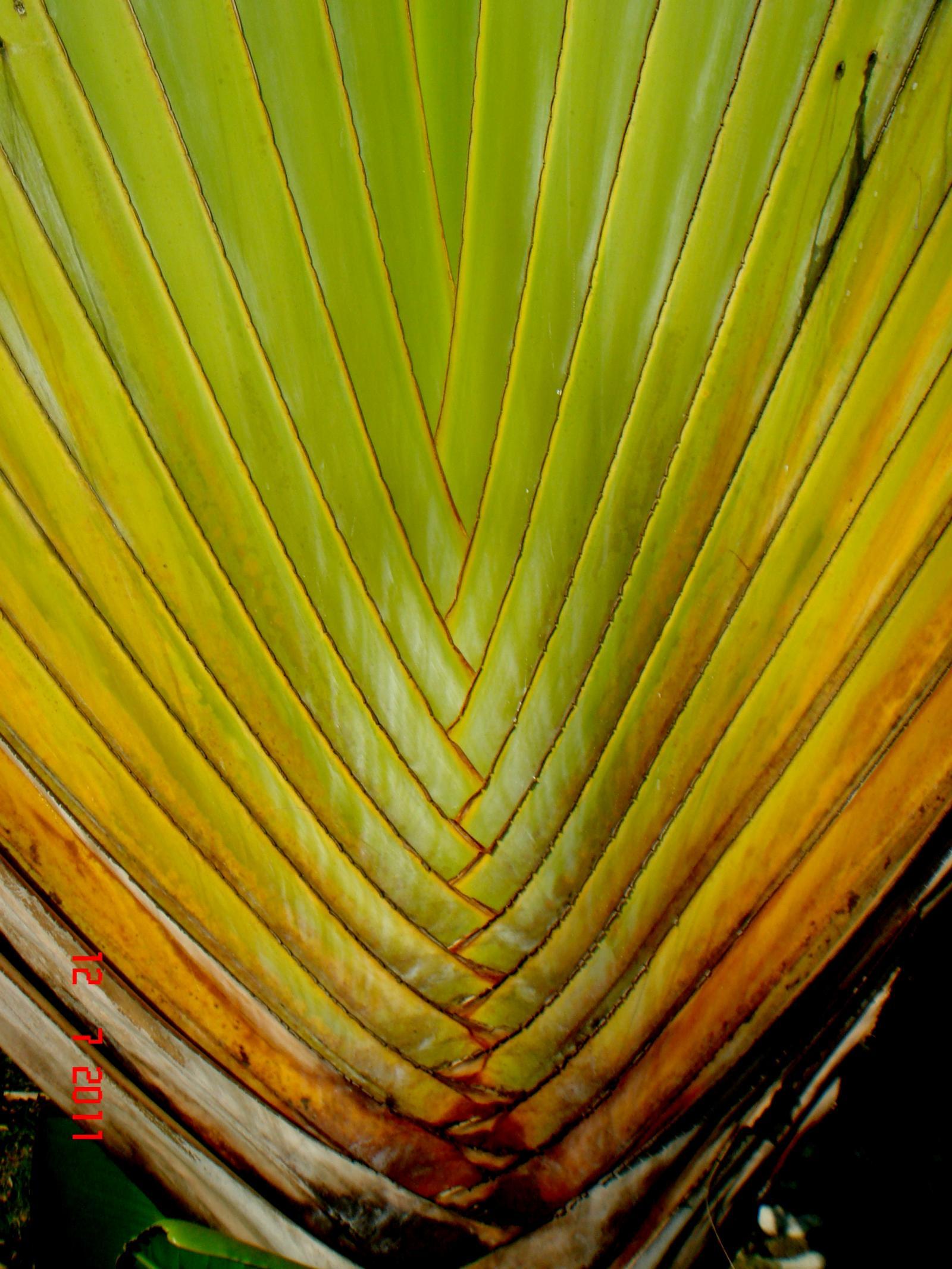 Strelitziaceae image