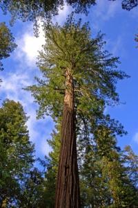 Image of Sequoia sempervirens