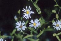 Image of Symphyotrichum novi-belgii