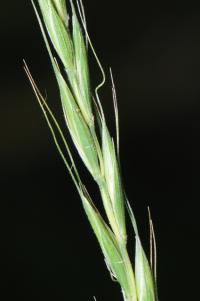 Elymus caninus image